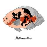 Иллюстрация рыб аквариума соленой воды Astronotus Стоковое Изображение RF