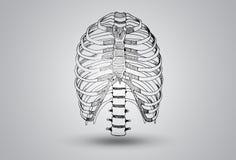 Иллюстрация сочленения нервюры Стоковое фото RF