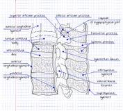Иллюстрация структуры человеческого позвоночника Стоковое фото RF