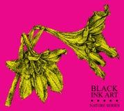 Иллюстрация с цветком Hippeastrum нарисованная вручную с чернилами Стоковая Фотография RF