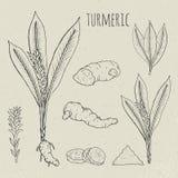 Иллюстрация турмерина медицинская ботаническая изолированная Завод, cutaway корня, листья, комплект специй нарисованный рукой Вин Стоковое Изображение