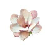 Иллюстрация цветка магнолии Стоковые Фото