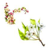 Иллюстрация цветков вишневого цвета с листьями Стоковая Фотография
