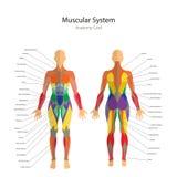 Иллюстрация человеческих мышц Женское тело Тренировка спортзала Спереди и сзади взгляд Анатомия человека мышцы Стоковое Изображение