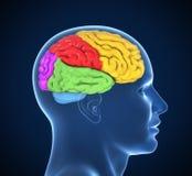 Иллюстрация человеческого мозга 3d Стоковая Фотография