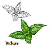 Иллюстрация эскиза полного цвета реалистическая Мелиссы иллюстрация вектора