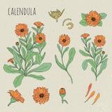 Иллюстрация Calendula медицинская ботаническая Завод, цветки, лепестки, листья, комплект семени нарисованный рукой Год сбора вино Стоковые Изображения