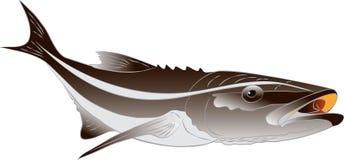 Иллюстрация Cobia - canadum Rachycentron Стоковое Фото