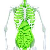 иллюстрация 3d человеческого скелета и внутренних органов изолировано Содержит путь клиппирования Стоковые Фотографии RF