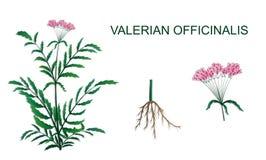 Иллюстрация officinalis Valeriana Стоковые Изображения RF