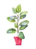 Иллюстрация Pipal Pipal в баке В горшке pipal в акварели Стоковые Изображения