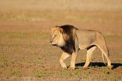 Идя африканский лев Стоковые Фотографии RF