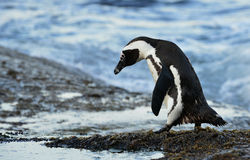 Идя африканский пингвин (demersus spheniscus) Стоковые Фотографии RF