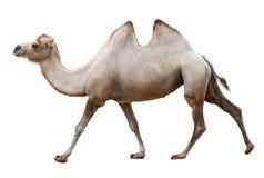 Идя верблюд на белизне стоковое изображение