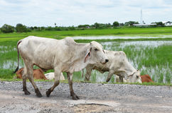 Идя коровы на дороге около риса field Стоковые Изображения