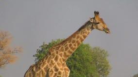 Идя профиль жирафа акции видеоматериалы