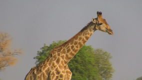 Идя профиль жирафа видеоматериал