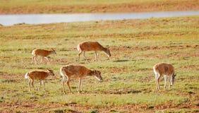 Идя тибетские антилопы Стоковые Фото