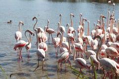 Идя фламинго в французе Camargue Стоковая Фотография
