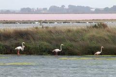 Идя фламинго, Le Grau-du-Roi, Camargue, Франция Стоковое Изображение RF
