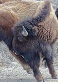 Йога буйвола Стоковое фото RF