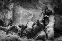 Йога гориллы практикуя Стоковые Изображения