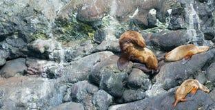 Йога морского льва Стоковая Фотография
