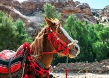 Йорданськая красивая лошадь стоковая фотография rf
