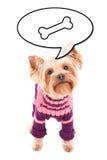 Йоркширский терьер маленькой собаки думая о еде изолированной на whi Стоковые Изображения RF