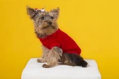 Йоркширский терьер собаки Стоковые Изображения RF