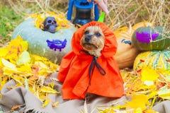 Йоркширский терьер хеллоуина в костюме тыквы смотря сторону стоковая фотография rf