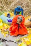 Йоркширский терьер хеллоуина в костюме тыквы стоковые фото