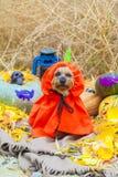 Йоркширский терьер хеллоуина в костюме тыквы стоковая фотография rf