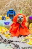 Йоркширский терьер хеллоуина в костюме тыквы стоковые фотографии rf