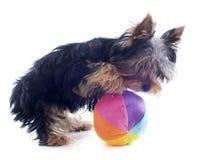 Йоркширский терьер щенка Стоковая Фотография