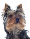 Йоркширский терьер щенка Стоковое Изображение RF