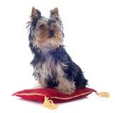 Йоркширский терьер щенка Стоковое Изображение