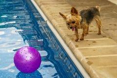 Йоркширский терьер, yorkies играя бассейном с шариком Стоковое Изображение