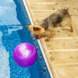 Йоркширский терьер, yorkies играя бассейном с шариком Стоковые Изображения RF