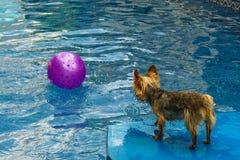 Йоркширский терьер, yorkies играя в бассейне с шариком Стоковое Фото