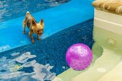 Йоркширский терьер, yorkies играя в бассейне с шариком Стоковые Изображения RF