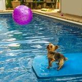 Йоркширский терьер, yorkies играя в бассейне с шариком Стоковая Фотография