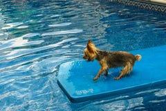 Йоркширский терьер, yorkies играя в бассейне с шариком Стоковые Фото