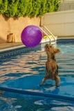 Йоркширский терьер, yorkies играя в бассейне с шариком Стоковая Фотография RF