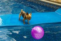 Йоркширский терьер, yorkies играя в бассейне с шариком Стоковые Фотографии RF