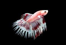 Кабели кроны воюя fishs изолированные на черноте Стоковое фото RF
