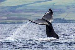 Кабель горбатого кита вытекает от океана в Гаваи стоковые фотографии rf