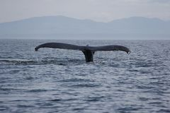 Кабель горбатого кита в островах Сан-Хуана Стоковое Изображение