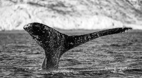 Кабель горбатого кита Мексика Стоковые Изображения RF