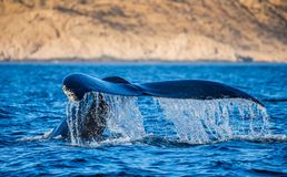 Кабель горбатого кита Мексика Стоковая Фотография RF